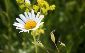 Картинка поле, лето, ромашка полевая, любит-не любит, запах травы