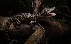 Картинка темный фон, дерево, черный, хищник, малыш, крокодил, пасть, коряга, детеныш, юный, кайман, крокодильчик