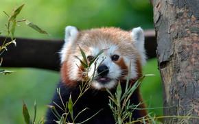 Картинка язык, листья, фон, дерево, портрет, красная панда, кора, мордашка, малая панда