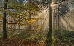 Картинка осень, лес, солнце, лучи, свет, деревья, ветки, туман, стволы, растительность, листва, утро, солнечно, листопад