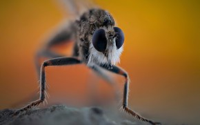 Картинка насекомое, Asilidae, Ктырь