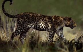 Картинка трава, свет, природа, поза, фон, леопард, хвост, прогулка