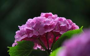 Картинка цветы, фон, розовая, гортензия