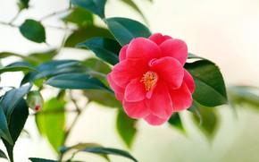 Картинка цветок, листья, фон, красная, боке, камелия