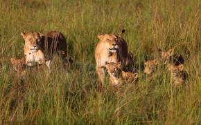 Картинка поле, трава, малыши, львы, львята, львица, мама, семейство, детеныши, львицы, выводок