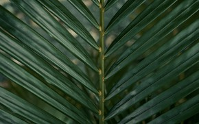 Картинка макро, пальма, листок, растение, ветка, зелёный