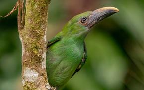 Картинка фон, дерево, птица, клюв, зелёная, Туканет