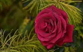 Картинка цветок, капли, ветки, розовая, роза, хвоя, красная, боке