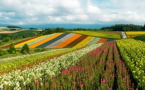 Картинка небо, солнце, облака, деревья, цветы, холмы, поля, Япония, разноцветные, Khokkajdo