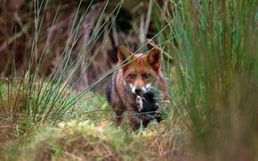 Картинка трава, взгляд, природа, жертва, хищник, мышь, мышка, лиса, лисица, добыча