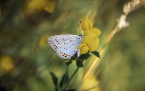 Картинка лето, макро, цветы, фон, бабочка, обработка, размытие, желтые, стебель, насекомое, белая, боке