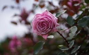 Картинка цветок, листья, розовая, роза, ветка, сад, стебель, боке, размытый фон