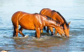Картинка вода, кони, лошади, купание, пара, рыжие, водопой, водоем, две лошади, два коня