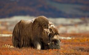 Картинка поле, природа, Овцебык