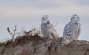 Картинка песок, птицы, две, горка, пара, солома, совы, полярная сова, две птицы, две совы