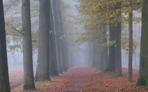 Картинка осень, лес, деревья, природа, туман, стволы, утро
