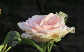Картинка Роза, Цветок, Розовая роза, Meduzanol ©