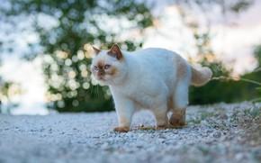 Картинка кошка, трава, кот, взгляд, морда, природа, галька, блики, камни, фон, голубой, котик, прогулка, киса, британский, …