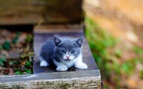Картинка малыш, котёнок, Манчкин