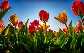 Картинка зелень, поле, небо, листья, солнце, лучи, свет, цветы, синева, стебли, поляна, яркие, весна, желтые, тюльпаны, …