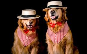 Картинка язык, собаки, морда, бабочка, две, собака, шляпа, пара, костюм, наряд, образ, черный фон, двое, парочка, ...