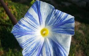 Картинка полосатая, вьюнок, Meduzanol ©, бело-синяя