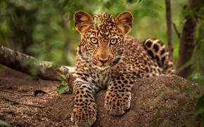 Картинка взгляд, листья, ветки, котенок, портрет, лапы, малыш, леопард, лежит, мордашка, детеныш, боке