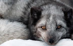 Картинка взгляд, морда, лиса, Чернобурая лисица, Чернобурка