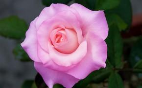 Картинка макро, роза, лепестки, цветение