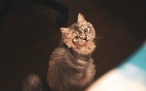 Картинка кошка, глаза, кот, взгляд, морда, темный фон, котенок, серый, пушистый, пол, котёнок, полосатый, вид сверху