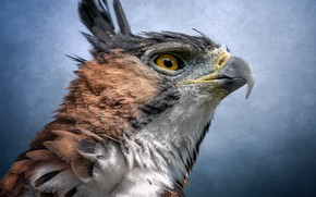 Картинка птица, портрет, хищник, ястреб