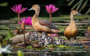 Картинка цветы, птицы, утки, утята, птенцы, водяная лилия