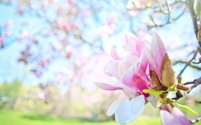 Картинка цветок, листья, свет, цветы, ветки, фон, весна, бутон, бутоны, цветение, голубой фон, боке, магнолия