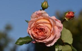 Картинка цветок, фон, роза, сад, бутон, персиковая