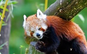 Картинка взгляд, насекомые, природа, поза, дерево, красная панда, бревно, мордашка, зеленый фон, недовольство, малая панда, осы