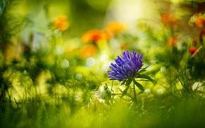 Картинка цветок, лето, трава, макро, цветы, природа, астра, боке