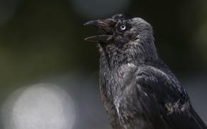 Картинка природа, птица, ворон
