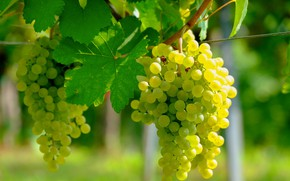 Картинка листья, солнце, ветка, виноград, боке, лоза