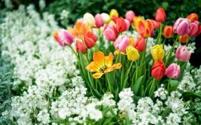 Картинка цветы, весна, желтые, сад, тюльпаны, красные, розовые, белые, оранжевые, клумба, разные, соцветия, боке