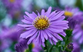 Картинка цветок, макро, астра, сиреневая, боке