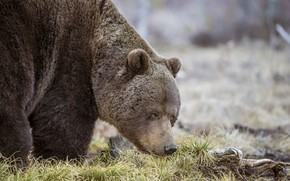 Картинка трава, взгляд, природа, животное, хищник, медведь, Sergey Kulikov