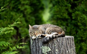 Обои кошка, природа, пень