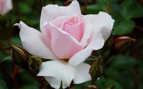 Картинка макро, розовая, нежность, роза, лепестки