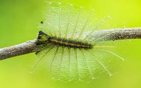 Картинка макро, гусеница, фон, насекомое