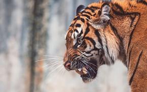 Картинка морда, тигр, фон, портрет, оскал