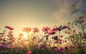 Картинка поле, лето, небо, солнце, закат, цветы, colorful, луг, summer, розовые, vintage, field, sunset, pink, flowers, …