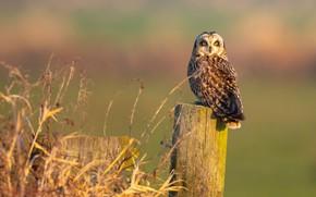 Картинка трава, взгляд, фон, сова, птица, столб