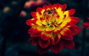 Картинка цветок, макро, темный фон, двухцветная, георгина, яркая, желто-красная