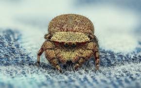 Картинка взгляд, макро, поза, фон, паук, ворсинки, ткань, джампер, паучок, прыгунчик, прыгающий