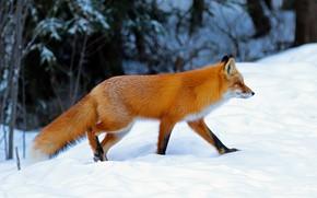 Картинка зима, лес, снег, природа, поза, лиса, сугробы, профиль, рыжая, прогулка, лисица
